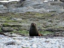 Curious Fur Seal, New Zealand Stock Image