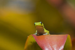 Curious Gecko Royalty Free Stock Image