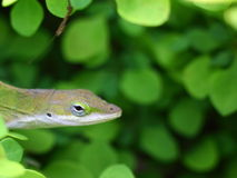 Curious gecko among green bushes. A curious gecko appears his head from the green bushes Stock Image