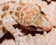 Curious Gecko Head Shot Stock Image