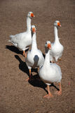 Curious geese stock photo