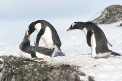 Curious Gentoo Penguin. Is watching a pair of love Royalty Free Stock Image