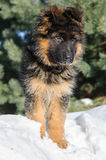 Curious German Shepherd puppy Royalty Free Stock Photography