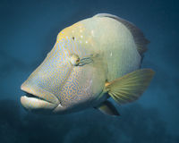 Curious giant wrasse. A giant wrasse in the coral sea curiously watching the photographer Stock Photo