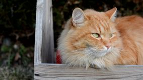 Curious ginger cat in the garden in the lair stock footage