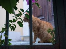 Curious Ginger Cat. Curious ginger tabby cat in Italy Royalty Free Stock Photos