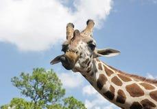 Curious Giraffe. Portrait of a curious giraffe royalty free stock image