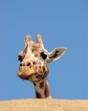 Curious giraffe behind the rock. A giraffe is peeking from behind a rock against blue sky Stock Photo