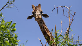 Curious giraffe Royalty Free Stock Photography