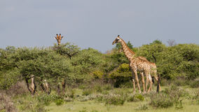 Curious Giraffe at Etosha National Park Royalty Free Stock Photography