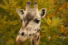 A curious giraffe. Face giraffe with autunm leaves royalty free stock photos