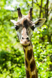 Curious Giraffe. Head in the wild Royalty Free Stock Image
