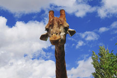 Curious giraffe Stock Photography