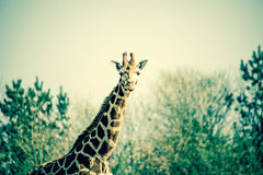 Curious giraffe in the nature Royalty Free Stock Image