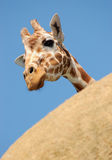 Curious giraffe peeking from behind a rock Stock Photos