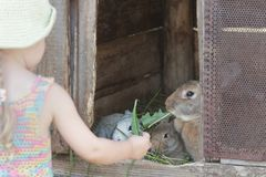 Curious girl feeding domestic rabbits with organic grass. Outdoors Stock Photography