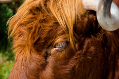 Curious glance of a highland cattle Royalty Free Stock Photo