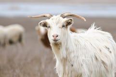 Curious goat Stock Photography