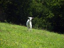 Curious goat Stock Image