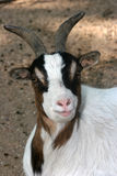 Curious goat Royalty Free Stock Images