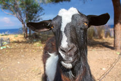 Curious goat Stock Images