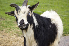 Curious Goat Royalty Free Stock Photo