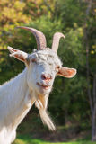 Curious goat face. Funny portrait of horny goat Royalty Free Stock Photos