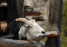 Curious Goat Finds Opening stock images