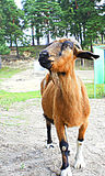 Curious Goat. Funny goat brown. Curious looks. Focus on the eyes royalty free stock photography