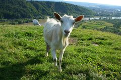Curious goat on green pasture. On a sunny day in spring Stock Photography