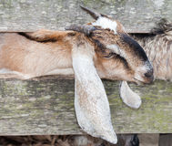Curious goat Stock Image