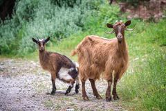 Curious goat and her kid on a trekking path in Crete Greece. Curious goat and her kid on a trekking path in Crete, Greece Royalty Free Stock Photo