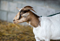 Curious Goat on a Leash Royalty Free Stock Image
