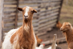 Curious goat looking at the camera Royalty Free Stock Photos
