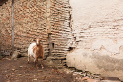 Curious goat looking at the camera Royalty Free Stock Photo