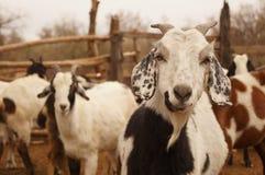 Curious goat Stock Photos