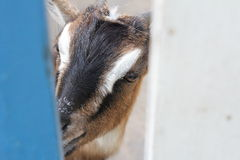 Curious goat Stock Photos