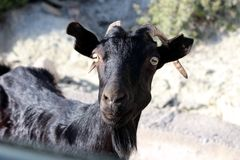Curious goat. Mountains, sea. Rhodes Island, Greece royalty free stock images