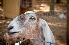 Curious Goat. A curious goat staring over it's pin fencing at the camera Royalty Free Stock Images