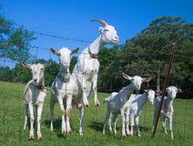 Curious Goats. Photograph of a group of goats that came running up to the fence to check out the photographer on a beautiful early summer morning in the midwest Stock Image