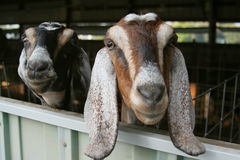 Curious Goats. Closeup of two long-eared goats looking out farm building window. Horizontal format Royalty Free Stock Photo