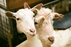 Curious goats at homestead Royalty Free Stock Photography