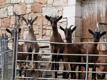 Curious goats line up at the fence Stock Photo