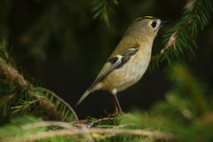 Curious Goldcrest Stock Photography