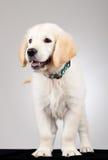 Curious golden labrador retriever Stock Photography