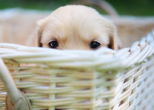Curious golden retriever puppy Royalty Free Stock Photo