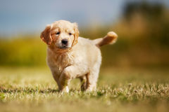 Curious golden retriever puppy royalty free stock photography