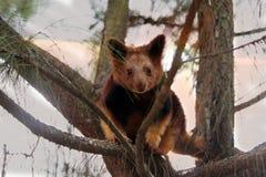 Curious young tree kangaroo. This curious Goodfellow`s tree kangaroo joey climbs around the trees energetically near sunset Royalty Free Stock Image