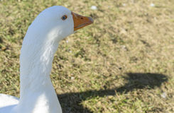 Curious goose of blue eyes Stock Photography