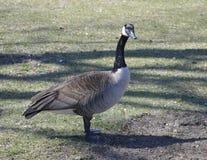 Curious Goose Royalty Free Stock Photos